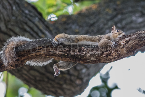 Lazy Squirrel On a Hot Day