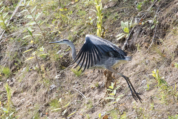 Heron Launching for Flight